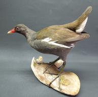 Adrian Johnstone, professional Taxidermist since 1981. Supplier to private collectors, schools, museums, businesses, and the entertainment world. Taxidermy is highly collectable. A taxidermy stuffed Common Moorhen (9412), in excellent condition.