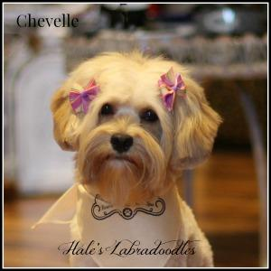 Hale's Australian Labradoodle named Chevelle