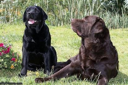 Quail Chase Labradors - Labrador, Chocolate