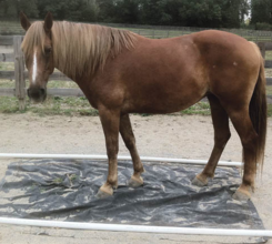 Colby's Army photo of the chestnut Belgian Quarter Horse therapy horse Tessie