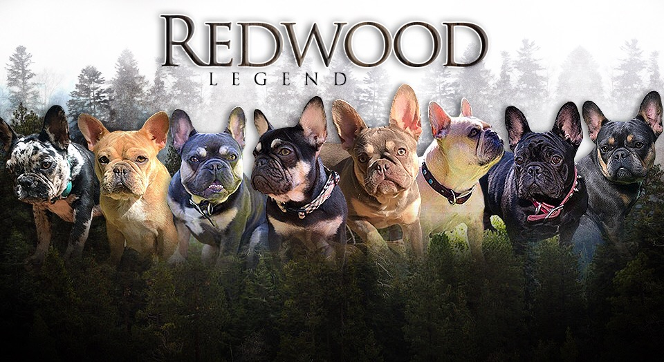 Rare Colored French Bulldogs Redwood Legend