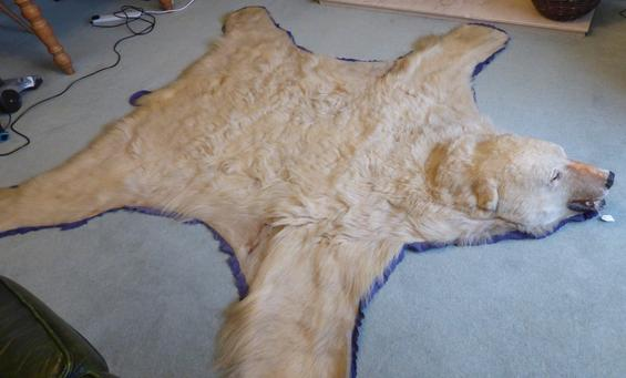 Adrian Johnstone, professional Taxidermist since 1981. Supplier to private collectors, schools, museums, businesses, and the entertainment world. Taxidermy is highly collectable. A taxidermy stuffed adult Polar Bear Rug (460), in excellent condition.