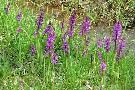 Early-purple-orchid-in-France