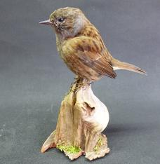 Adrian Johnstone, professional Taxidermist since 1981. Supplier to private collectors, schools, museums, businesses, and the entertainment world. Taxidermy is highly collectible. A taxidermy stuffed Dunnock (9747), in excellent condition.