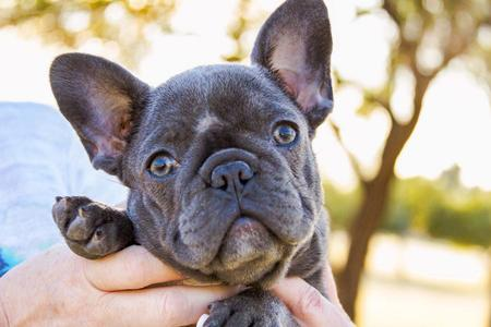 Our Blue French Bulldog Puppies For Sale