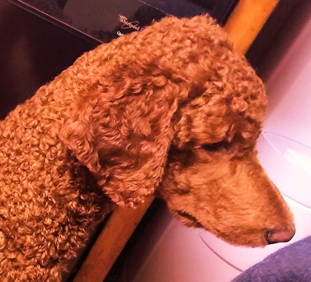 Goldendoodle Puppies For Sale, Golden Doodle Puppies