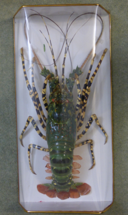 Adrian Johnstone, professional Taxidermist since 1981. Supplier to private collectors, schools, museums, businesses, and the entertainment world. Taxidermy is highly collectible. A taxidermy stuffed Spiny Lobster, in excellent condition.