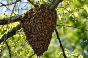 Swarm of bees in tree