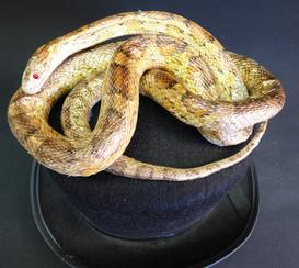 Adrian Johnstone, professional Taxidermist since 1981. Supplier to private collectors, schools, museums, businesses, and the entertainment world. Taxidermy is highly collectable. A taxidermy stuffed Corn Snake On Hat (no:69), in excellent condition.