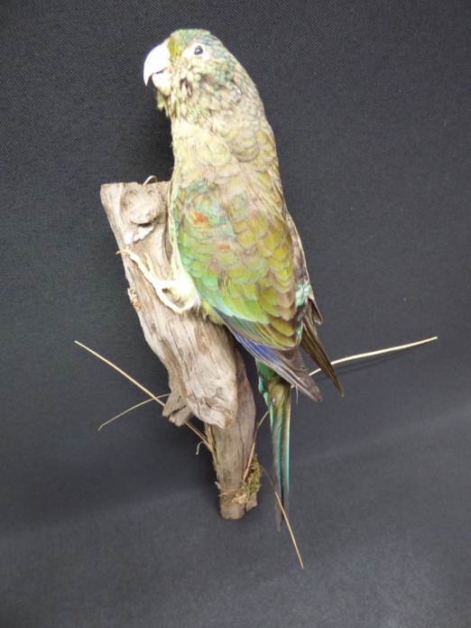 Adrian Johnstone, professional Taxidermist since 1981. Supplier to private collectors, schools, museums, businesses, and the entertainment world. Taxidermy is highly collectable. A taxidermy stuffed Green Rosella Parrot (537fb), in excellent condition.