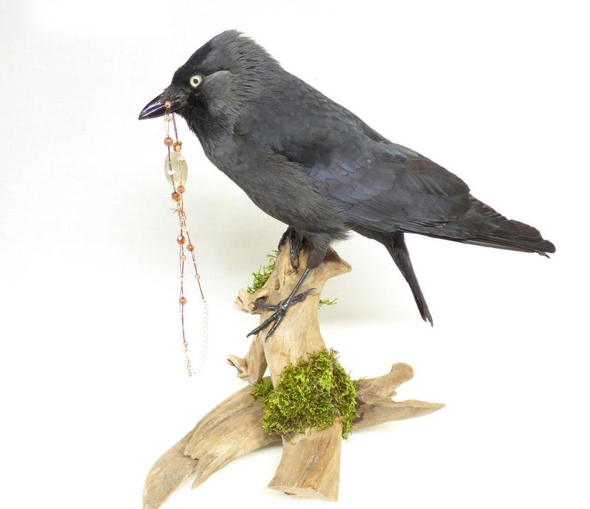 Adrian Johnstone, professional Taxidermist since 1981. Supplier to private collectors, schools, museums, businesses, and the entertainment world. Taxidermy is highly collectable. A taxidermy stuffed adult Jackdaw (9230) in excellent condition. Mobile: 07745 399515 Email: adrianjohnstone@btinternet.com