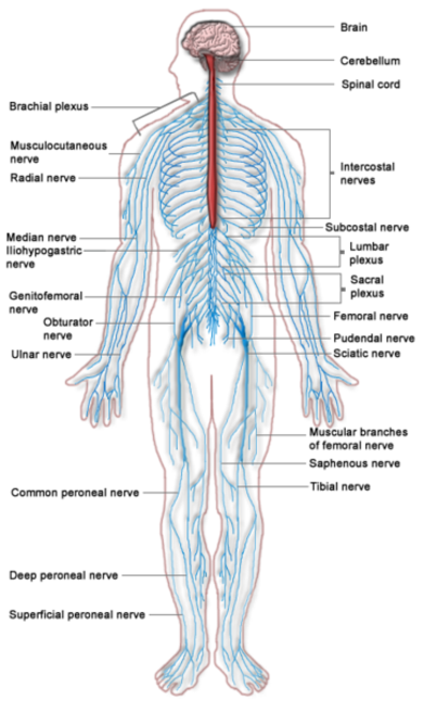 peripheral neuropathy, Muscles