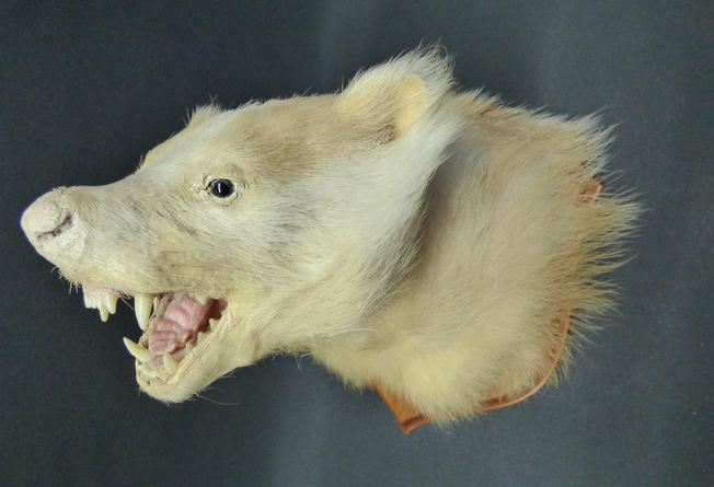 Adrian Johnstone, professional Taxidermist since 1981. Supplier to private collectors, schools, museums, businesses, and the entertainment world. Taxidermy is highly collectable. A taxidermy stuffed pale Badger Mask (no:482), in excellent condition.