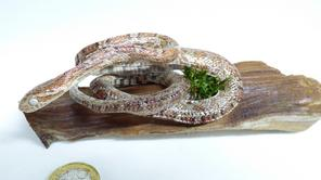 Adrian Johnstone, professional Taxidermist since 1981. Supplier to private collectors, schools, museums, businesses, and the entertainment world. Taxidermy is highly collectible. Two taxidermy stuffed Snakes (15), in excellent condition. Mobile: 07745 399515 Email: adrianjohnstone@btinternet.com