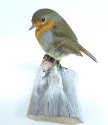 Adrian Johnstone, professional Taxidermist since 1981. Supplier to private collectors, schools, museums, businesses, and the entertainment world. Taxidermy is highly collectable. A taxidermy stuffed Robin (9112), in excellent condition. Mobile: 07745 399515 Email: adrianjohnstone@btinternet.com