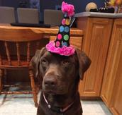 Labrador Retriever birthday