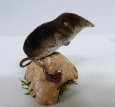Adrian Johnstone, professional Taxidermist since 1981. Supplier to private collectors, schools, museums, businesses, and the entertainment world. Taxidermy is highly collectable. A taxidermy stuffed adult Field Mouse (3), in excellent condition.