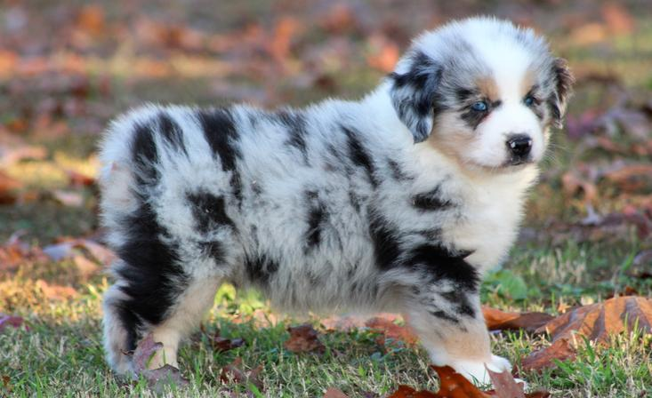Mini Australian Shepherd for Sale - JandB Mini Aussies