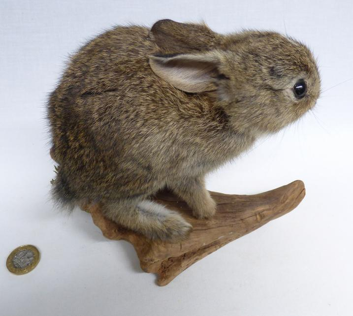 Adrian Johnstone, professional Taxidermist since 1981. Supplier to private collectors, schools, museums, businesses, and the entertainment world. Taxidermy is highly collectable. A taxidermy stuffed Rabbit (603), in excellent condition. Mobile: 07745 399515 Email: adrianjohnstone@btinternet.com