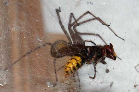Hornet-caught-by-Giant-house-spider-France