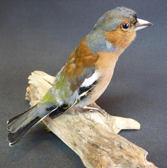 Adrian Johnstone, professional Taxidermist since 1981. Supplier to private collectors, schools, museums, businesses, and the entertainment world. Taxidermy is highly collectible. A taxidermy stuffed Chaffinch (9381), in excellent condition.