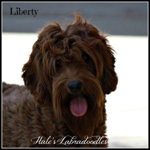 Hale's Australian Labradoodle named Liberty