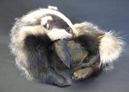 Adrian Johnstone, professional Taxidermist since 1981. Supplier to private collectors, schools, museums, businesses, and the entertainment world. Taxidermy is highly collectable. A taxidermy stuffed Badger (413), in excellent condition.