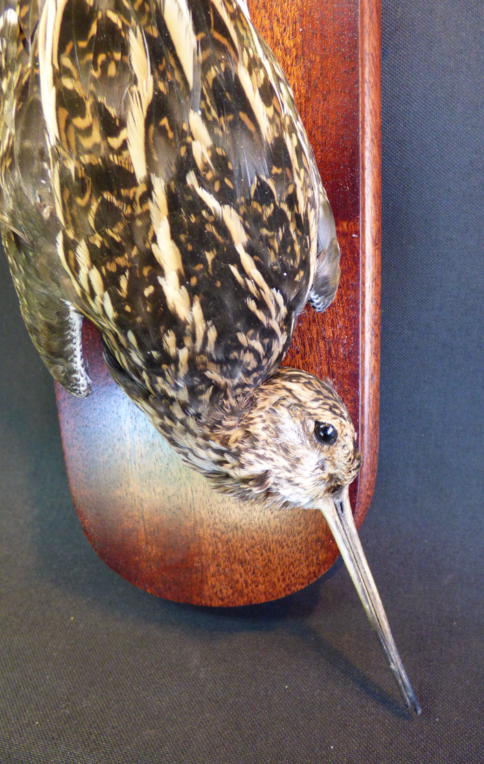 Adrian Johnstone, professional Taxidermist since 1981. Supplier to private collectors, schools, museums, businesses, and the entertainment world. Taxidermy is highly collectable. A taxidermy stuffed Snipe (9492), in excellent condition.