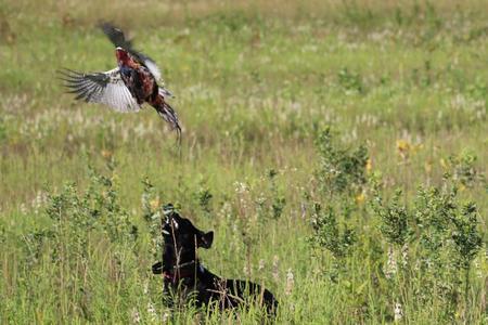 Gun Dog Training WI - Bird Crazy Gun Dogs/Labrador puppies WI