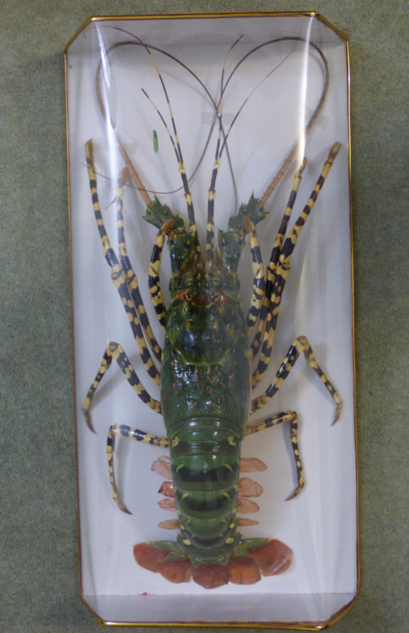 Adrian Johnstone, professional Taxidermist since 1981. Supplier to private collectors, schools, museums, businesses, and the entertainment world. Taxidermy is highly collectable. A taxidermy stuffed Spiny Lobster, in excellent condition.