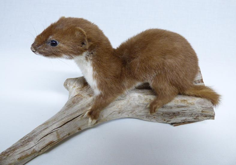 Adrian Johnstone, professional Taxidermist since 1981. Supplier to private collectors, schools, museums, businesses, and the entertainment world. Taxidermy is highly collectable. A taxidermy stuffed Weasel (42), in excellent condition.