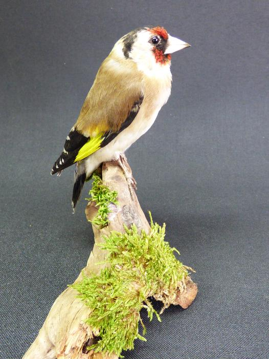 Adrian Johnstone, Professional Taxidermist since 1981. Supplier to private collectors, schools, museums, businesses and the entertainment world. Taxidermy is highly collectable. A taxidermy stuffed Goldfinch (9627), in excellent condition.