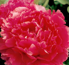 Toichi Ruby Tree Peony at Peony Farm, WA