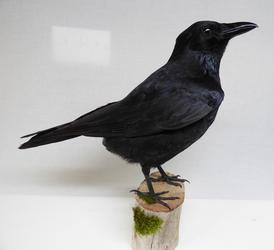 Adrian Johnstone, professional Taxidermist since 1981. Supplier to private collectors, schools, museums, businesses, and the entertainment world. Taxidermy is highly collectable. A taxidermy stuffed Carrion Crow (9825), in excellent condition.