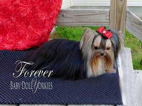 Baby doll yorkie adults