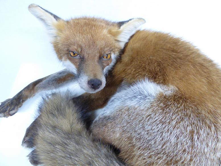 Adrian Johnstone, professional Taxidermist since 1981. Supplier to private collectors, schools, museums, businesses, and the entertainment world. Taxidermy is highly collectable. A taxidermy stuffed Red Fox (633), in excellent condition. Mobile: 07745 399515 Email: adrianjohnstone@btinternet.com