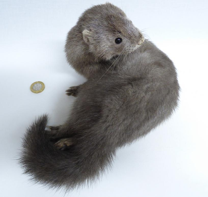 Adrian Johnstone, professional Taxidermist since 1981. Supplier to private collectors, schools, museums, businesses, and the entertainment world. Taxidermy is highly collectable. A taxidermy stuffed adult Silver Mink (531), in excellent condition.
