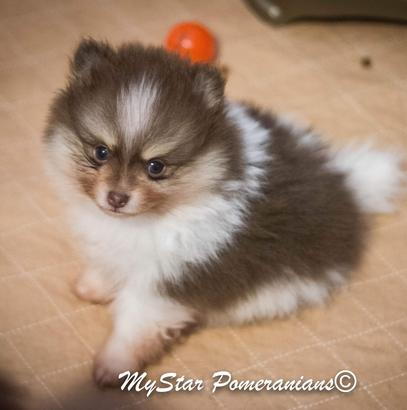 Pomeranian Puppies Available In Utah, Puppy, Cute, #1
