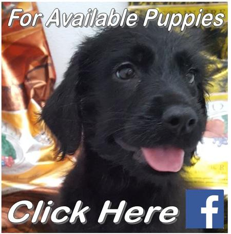 Click For Available Puppies