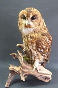 Adrian Johnstone, professional Taxidermist since 1981. Supplier to private collectors, schools, museums, businesses, and the entertainment world. Taxidermy is highly collectable. A taxidermy stuffed Tawny Owl (9761), in excellent condition.