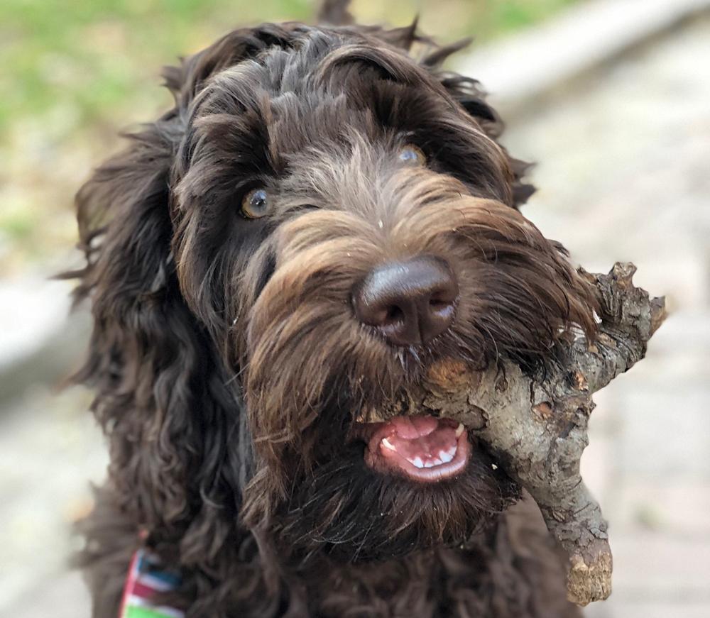 Australian Labradoodle Puppies - Waltzing Matilda's Labradoodles
