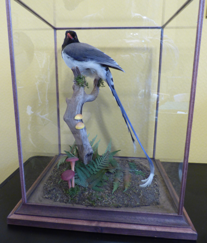 Adrian Johnstone, professional Taxidermist since 1981. Supplier to private collectors, schools, museums, businesses, and the entertainment world. Taxidermy is highly collectable. A taxidermy stuffed Red Billed Blue Magpie (log no:501fb)in excellent condition. Mobile: 07745 399515 Email: adrianjohnstone@btinternet.com