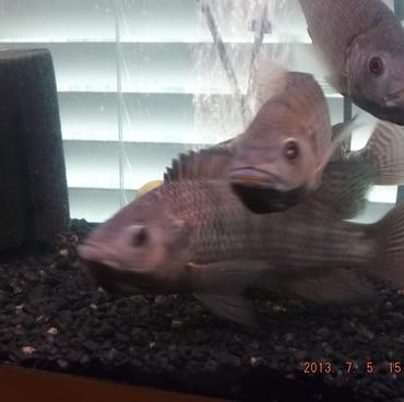 Three female tilapia with tilapia fry in their mouths.