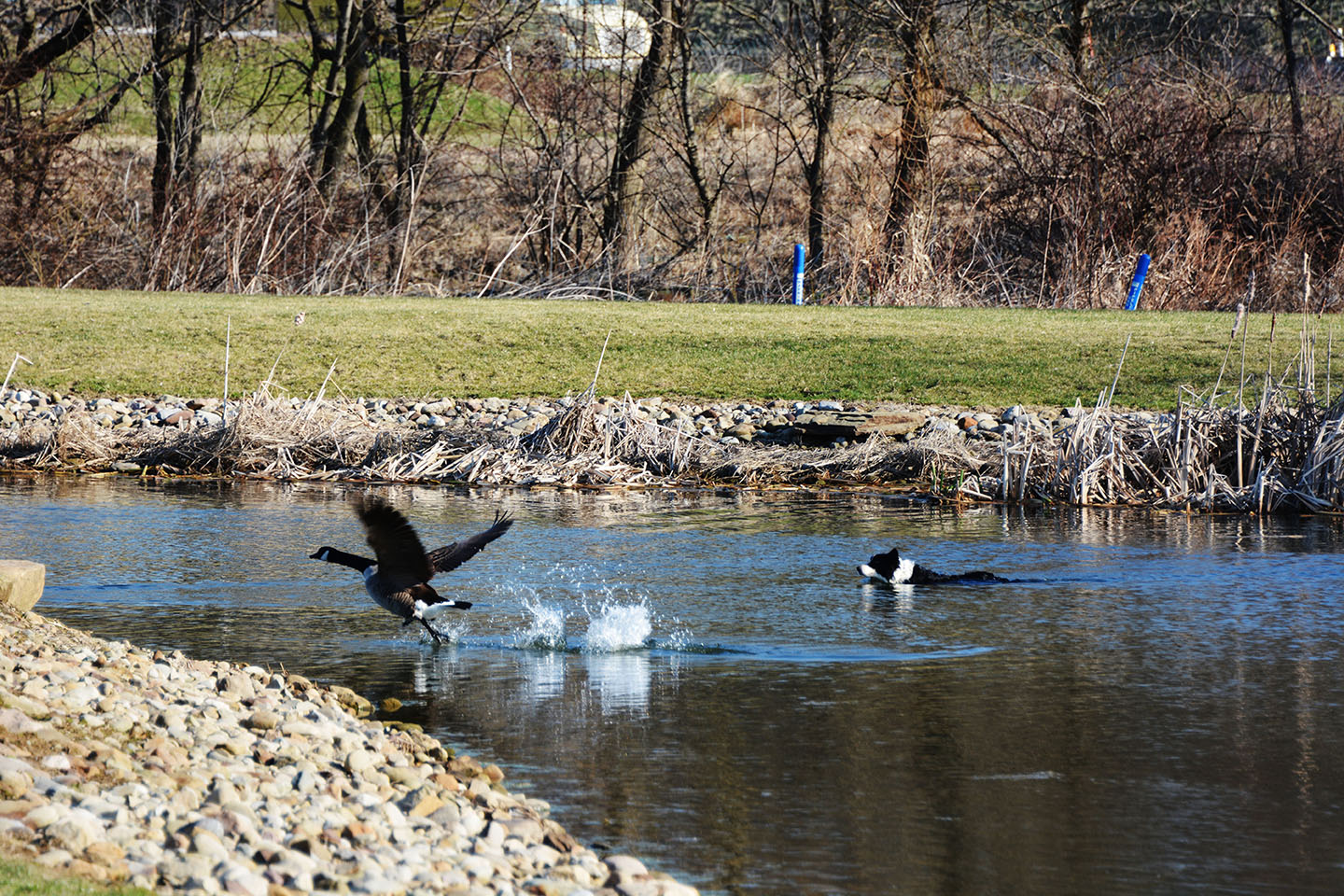 Geese Police of Western Pennsylvania PA boarder collie in action chasing problem canada geese