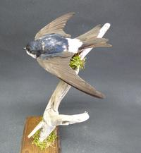 Adrian Johnstone, professional Taxidermist since 1981. Supplier to private collectors, schools, museums, businesses, and the entertainment world. Taxidermy is highly collectable. A taxidermy stuffed adult House Martin (9680), in excellent condition.