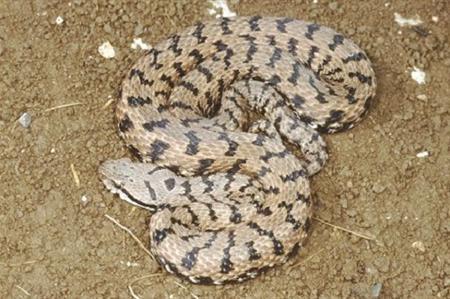 Asp-viper-in-France