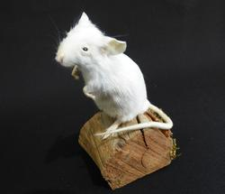 Adrian Johnstone, Professional Taxidermist since 1981. Supplier to private collectors, schools, museums, businesses and the entertainment world. Taxidermy is highly collectible. A taxidermy stuffed White Mouse (51), in excellent condition.