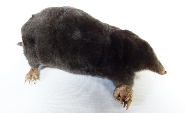 Adrian Johnstone, Professional Taxidermist since 1981. Supplier to private collectors, schools, museums, businesses and the entertainment world. Taxidermy is highly collectable. A taxidermy stuffed adult Mole (54), in excellent condition.