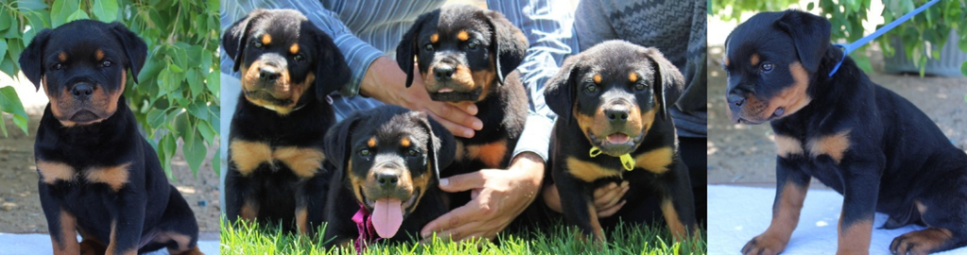 German Rottweiler Puppies for Sale - Vom Wilber's Rottweilers