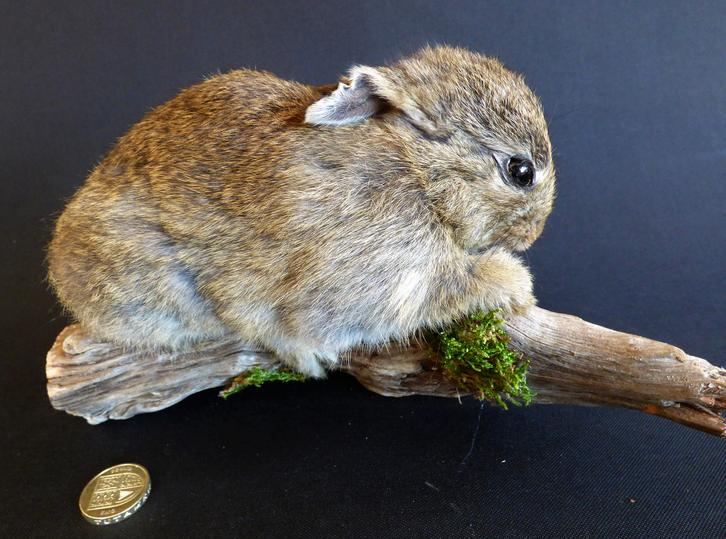 Adrian Johnstone, professional Taxidermist since 1981. Supplier to private collectors, schools, museums, businesses, and the entertainment world. Taxidermy is highly collectable. A taxidermy stuffed Baby Wild Rabbit (21), in excellent condition.